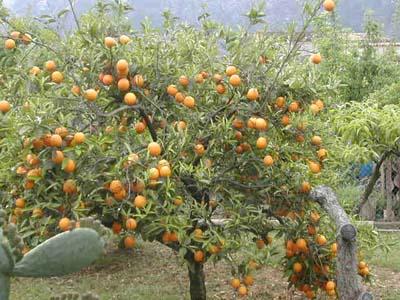 Orangenbaum in Soller auf Mallorca